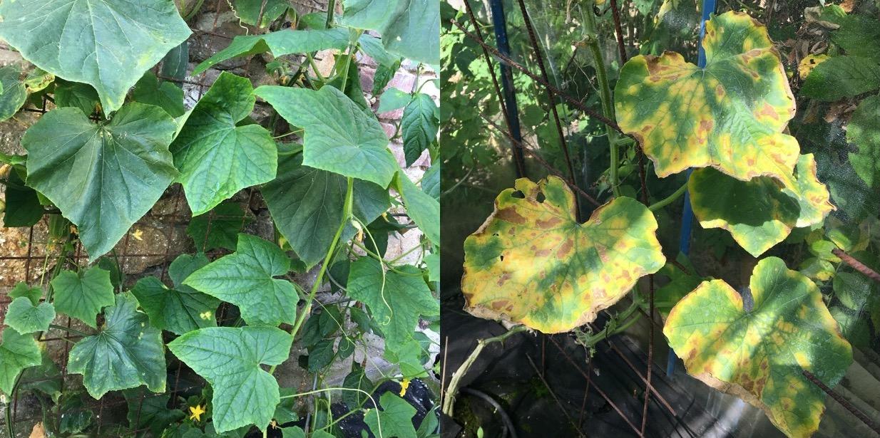 Ochrana rostlin před plísní